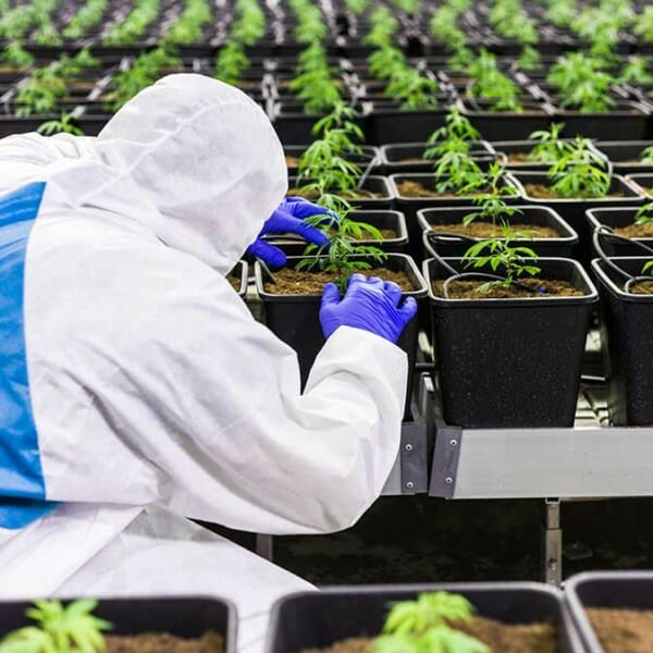 Workplace-Health-and-Safety-in-Medicinal-Cannabis-Sector