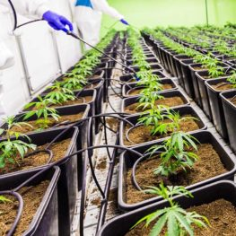 cultivating-cannabis